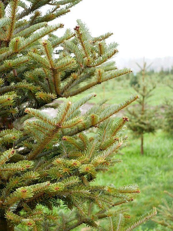christmas-tree-hunt